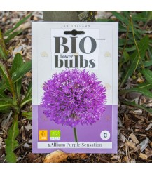Allium purple sensation 5 stuks  (bloembollen, bio)