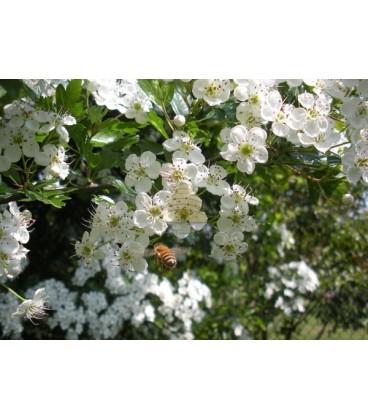 Ansichtkaart bloesem met honingbij