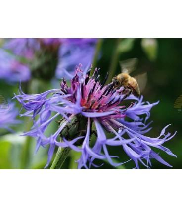 Ansichtkaart Korenbloem met honingbij (let op, orgineel heeft geen watermerk en is van hoge kwaliteit)
