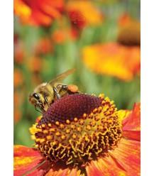Ansichtkaart van honingbij op Zonnekruid
